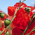 Poppy Pods by Jane Rix