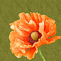 Poppy by Sharon Lisa Clarke