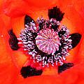Poppy's Heart by Mariella Wassing