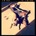 Pork Chop & Wilma <3 2 Of My Puppies At by Nena Alvarez