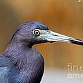 Portait Of A Little Blue Heron by Barbara Bowen