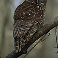 Portrait Of A Barred Owl Perched by Tyrone Turner