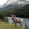 Portrait Of A Bighorn Sheep At Lake Minnewanka  by Laurel Best