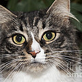 Portrait Of A Cat With Two Toned Eyes by Jeannette Hunt