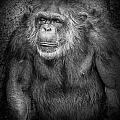 Portrait Of A Chimpanzee by Randall Nyhof
