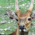Portrait Of A Deer by Wanda Brandon