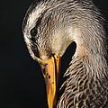 Portrait Of A Duck Poster by Doris Kruger