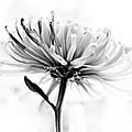 Portrait Of A Flower by Hakon Soreide