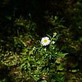 Portrait Of A Flower by Oana Blanaru