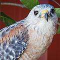 Portrait Of A Hawk by Marx Broszio