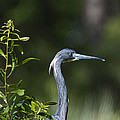 Portrait Of A Heron by Phill Doherty