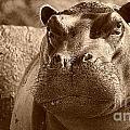 Portrait Of A Hippo by Mareko Marciniak