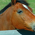 Portrait Of A Horse by Ronald T Williams