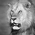 Portrait Of A Lion by Richard Garvey-Williams