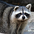 Portrait Of A Masked Bandit by Kathy  White