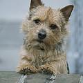 Portrait Of A Norwich Terrier by Robin Siegel