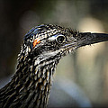 Portrait Of A Roadrunner  by Saija  Lehtonen