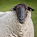 Portrait Of A Sheep by Greg Nyquist