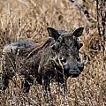 Portrait Of A Warthog by Paul Fell