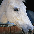 Portrait Of A White Horse Looking by Stacy Gold