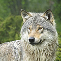 Portrait Of A Wolf by Andy-Kim Moeller