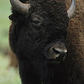 Portrait Of An American Bison by Annie Griffiths