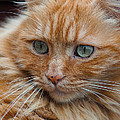 Portrait Of An Orange Kitty by Greg Nyquist