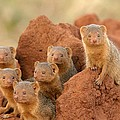 Portrait Of Seven Dwarf Mongooses by Roy Toft