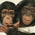 Portrait Of Two Young Laboratory Chimps by Steve Winter