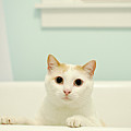 Portrait Of White Cat by Melissa Ross