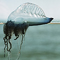 Portuguese Man-of-war by Peter Scoones