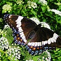 Posing Butterfly by Sherman Perry
