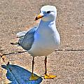 Posing Gull by Michael Frank Jr
