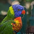 Posing Rainbow Lorikeet. by Clare Bambers