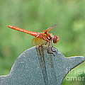 Posing Red Dragonfly by Rob Ladely