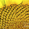 Posterized Sunflower Closeup by Gordon Wood