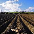 Potato Field, Ireland by The Irish Image Collection