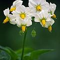 Potato Flowers (solanum Tuberosum) by Dr. Nick Kurzenko