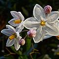 Potato Vine Blossom by Diana Hatcher