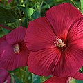 Potchen's Hibiscus by Joseph Yarbrough