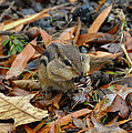 Pouch Filling Chipmunk  - C3041a by Paul Lyndon Phillips