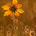 Prairie Coreopsis And Dewdrops by Robert Charity