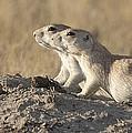 Prairie Dog Pair Grasslands Np by Matthias Breiter