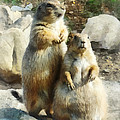Prairie Dog Formal Portrait by Susan Savad