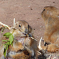 Prairie Dogs by Methune Hively