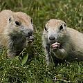Prairie Dogs by Wade Aiken