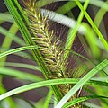 Prairie Dropseed by Maria Urso