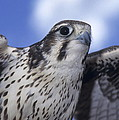 Prairie Falcon In Flight by Larry Allan