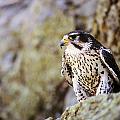 Prairie Falcon On Rock Ledge by John Pitcher