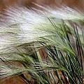Prairie Grass, Badlands National Park by Raymond Gehman